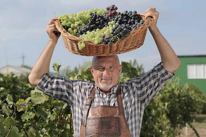 The harvest season and the Young Wine Festival at the